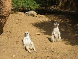 Meerkats by paploothelearned