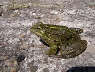 Frog by Enforcer010