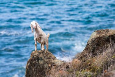 Confuzled goat by silverdragon