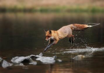 Jumping fox by Konakira