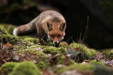 Sneaking fox by Konakira
