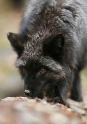 Black fox by Konakira
