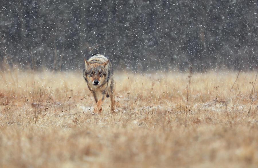 Snowy wolf by Konakira