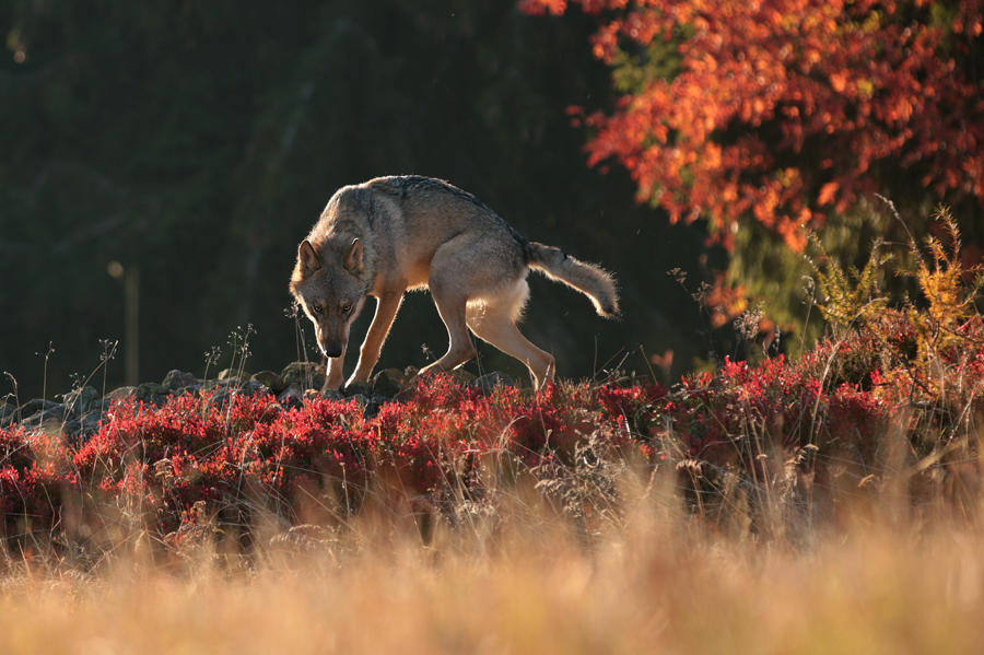 Wolfy autumn by Konakira