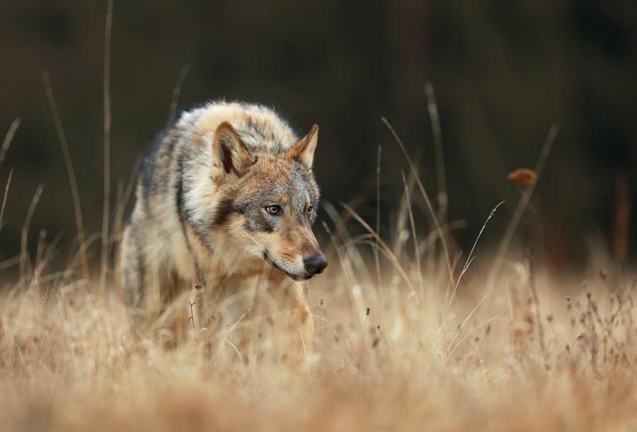 Lone wolf by Konakira
