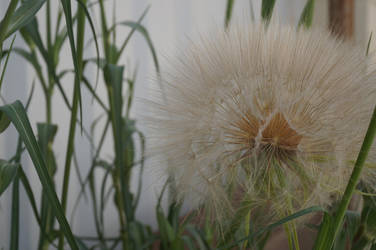 Giant dandelion by changanghua
