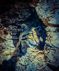 Clouded Leopard by shinigamisgem