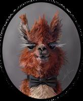 dA Llama Portrait by ChipWhitehouse