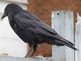 Crow ii by struckdumb