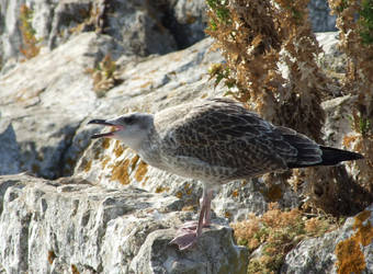 Herring Gull by Seraphania