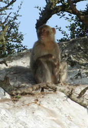 Gibraltar Wildlife - Monkey by Seraphania