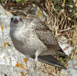 Gibraltar Gull by Seraphania