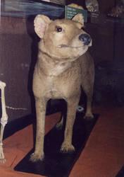 Rothschild Thylacine Front by thylobscene
