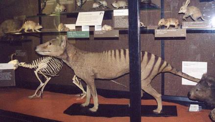 Rothschild Thylacine Side by thylobscene