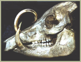Babirusa Skull by thylobscene