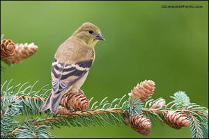 American Goldfinch juvenile by gregster09