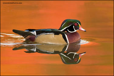 Wood Duck at last light by gregster09