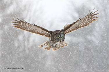 Great Gray owl hunting in snow by gregster09