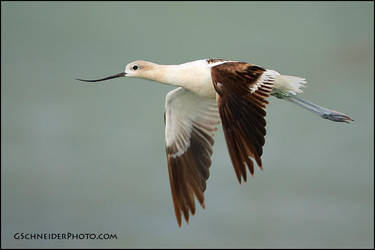 American Avocet by gregster09