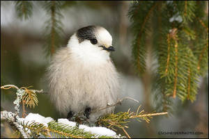 Fluffy Gray Jay by gregster09