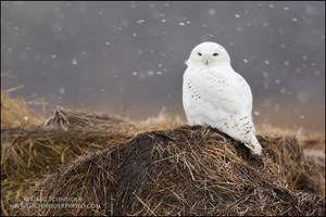 Snowy Owl in snowstorm by gregster09