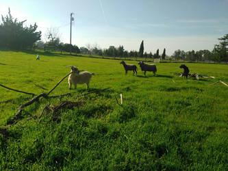 Goats  by MimikyuDawn