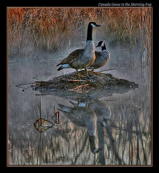 Canada Geese in Fog 2 by boron