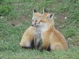 red fox cubs by DesertedAndUseless