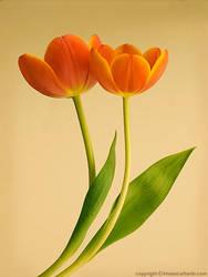 Twin Tulip by itash