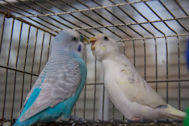 Parakeets Kissing by firecloak