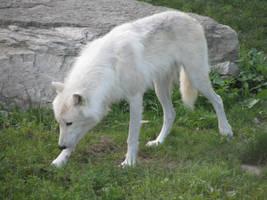Wolf stock 6 by Yanomiestock