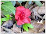 Azalea Bloom by KemicalReaxion