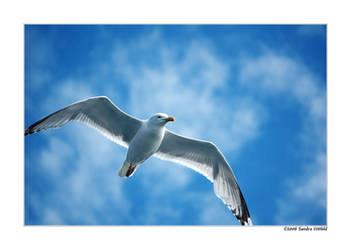 Norwegian Gull 26 by grugster