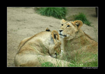 Lions by grugster