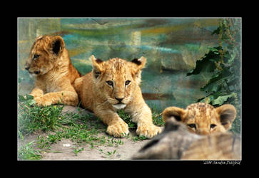 Baby Lions 1 by grugster