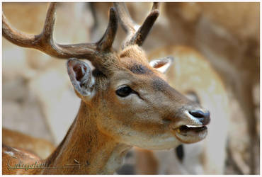 Fallow deer 3 by grugster