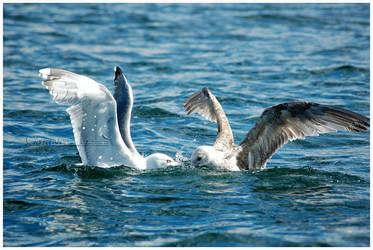 Norwegian gull 46 by grugster