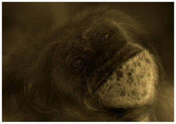 Chimp by grugster