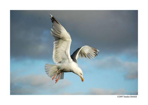 Norwegian gull by grugster
