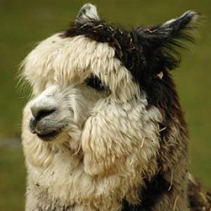 rarealpaca's Profile Picture