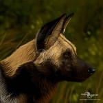 African Wild Dog by makangeni