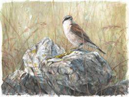 Red-backed shrike by makangeni