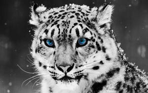 Snow Leopard by leahupaul
