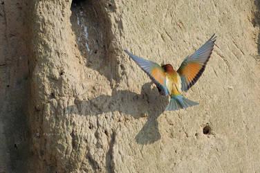 Merops apiaster by FlorinALF