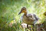 Little duck by JuhaniViitanen