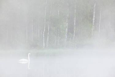 Swan in fog by JuhaniViitanen