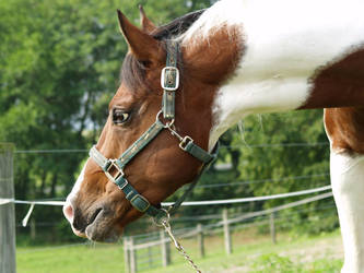 stock - horse5 by oldpost-stock