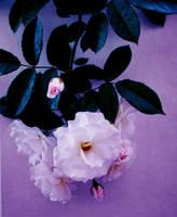 The old rosebush by Mariska1974