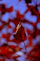autumn leaf by LastOfThePlagues