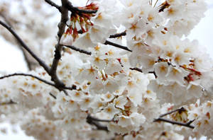Blossom by raHunterB
